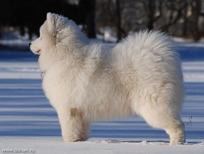 аляскинский белый маламут фото
