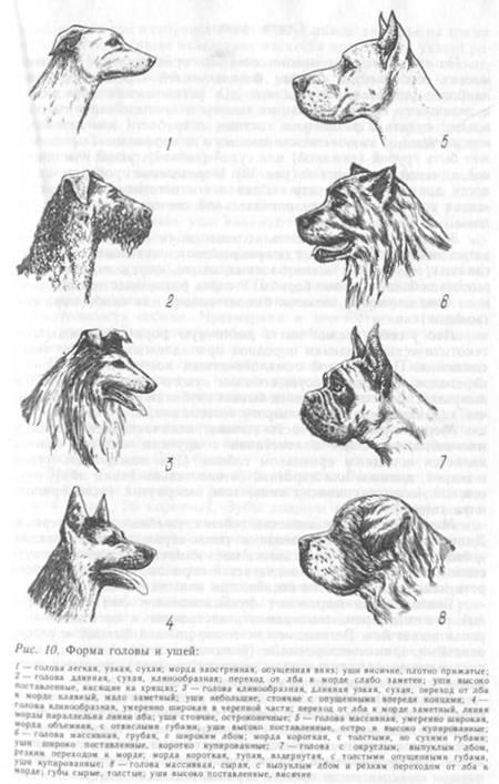 Конституция собак