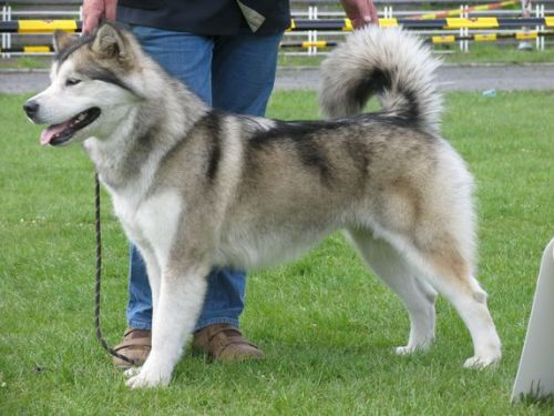 Appanachi Austrian Wolf