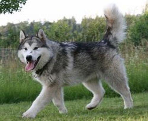 Crazy Soxs Austrian Wolf, Socke