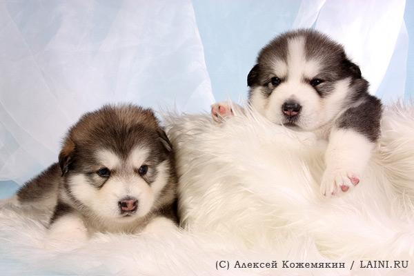 Аляскинский маламут щенки
